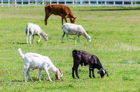 Goats Grazing Image